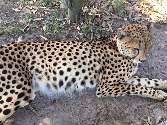 Port Elizabeth, Sudáfrica: A friendly and fearless cheetah having a nap just near the path, in Kraga Kamma game reserve