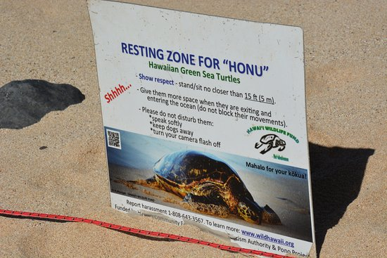 Paia, HI: Hawaiian Green Sea Turtles