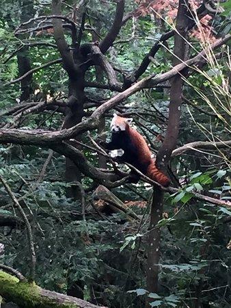 Nordens Ark : Röd panda