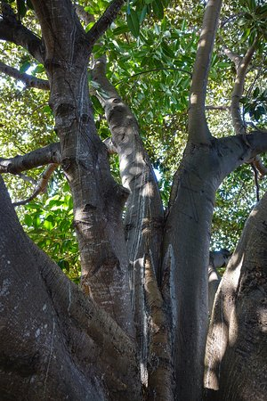 Captain Cook, Hawái: The Moreton Bay Fig tree is enchanting
