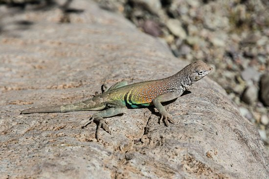 Alpine, TX: Greater Earless Lizard