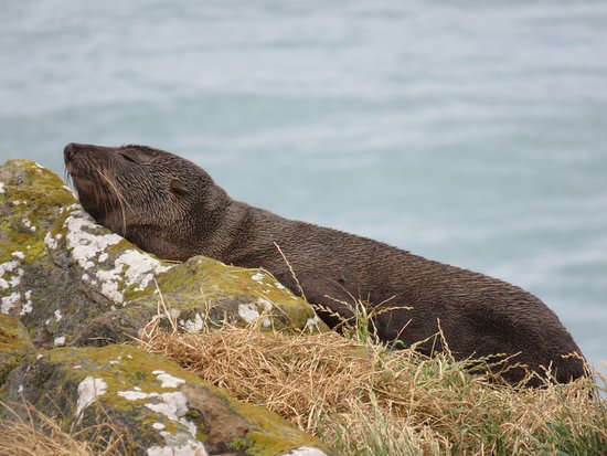 Otago Peninsula: New Zealand Fur Seal basking in the sun.