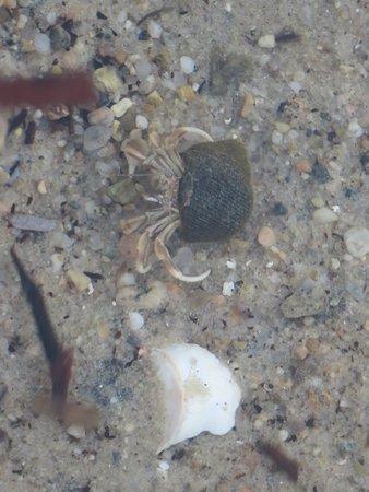 Beachside Village: Crabbie in the water