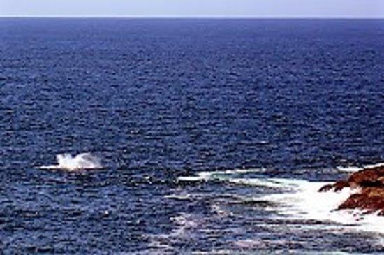 Kiama, Australia: WHALES OFF MARSDEN (LIL' BLOWHOLE) HEAD