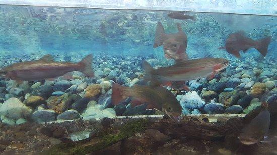 Turangi, Νέα Ζηλανδία: Baby trout