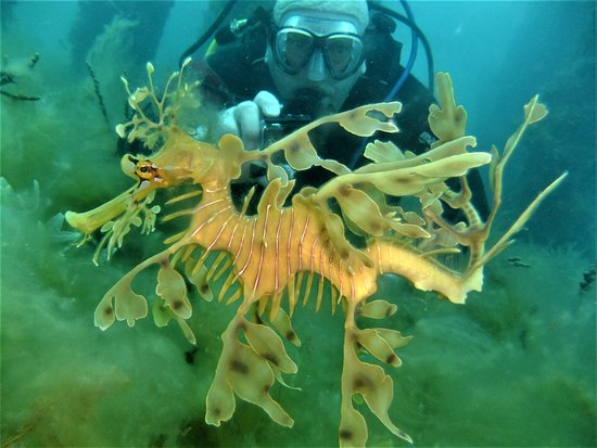 McLaren Vale, أستراليا: Bob with this awesome resident of rapid bay jetty adult female leafy 