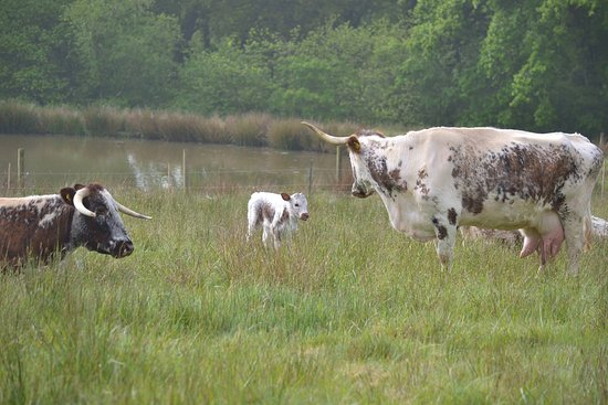 Hatherleigh, UK: Our lovely well tempered British Longhorns