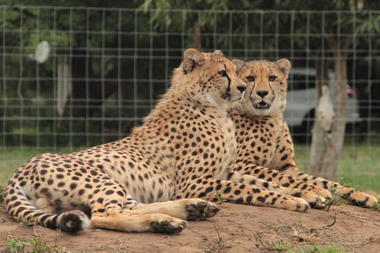 Emdoneni Lodge: Our car and the honeymoon suite are in the background behind these two cheetahs.