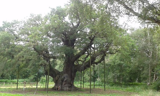 Nottinghamshire, UK: major oak