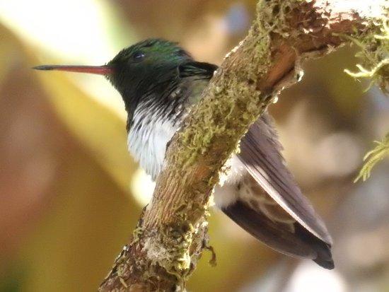 Casa Botania Bed & Breakfast: Snowy-bellied Hummingbird on the grounds.