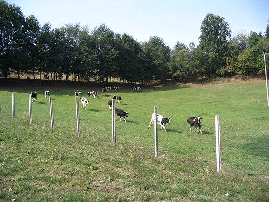 Asti, Italy: mucche libere e felici nel nostro pascolo