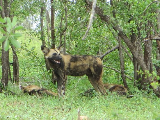 Lower Sabie Restcamp: Elusive Wild Dog.