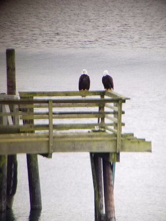 Sunset Marine Resort: Morning Bald Eagles.