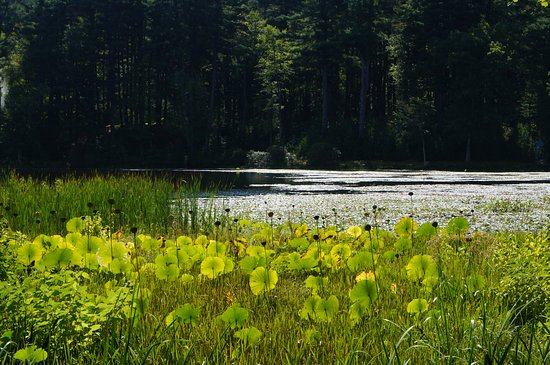 Innisfree Gardens: Lily pads in the marshes