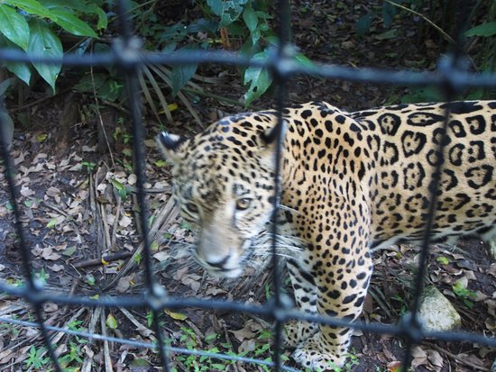 The Belize Zoo: Jaguar so close to the fence!