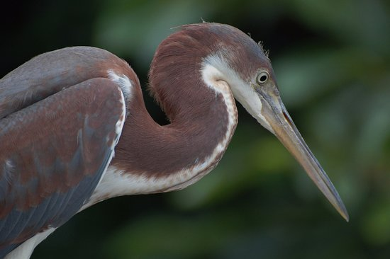 Wakodahatchee Wetlands: Immature tri-colored heron