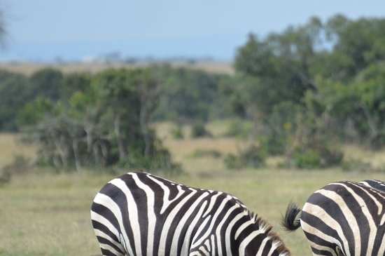 Sweetwaters Serena Camp: Zebras at lunch