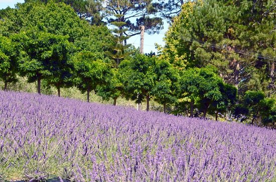 Lavender Hill: Lavender fields in Janualry