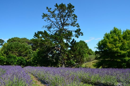 Coatesville, New Zealand: Lavender Fields