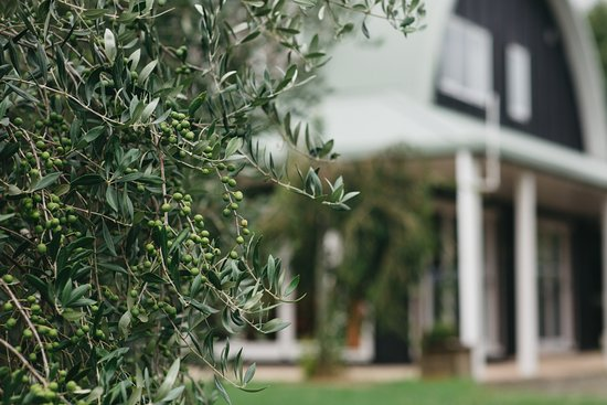 Coatesville, Nya Zeeland: Olives groves and lavender  surround the B&B