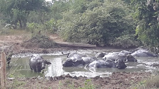 Uda Walawe National Park, ศรีลังกา: Буйволы