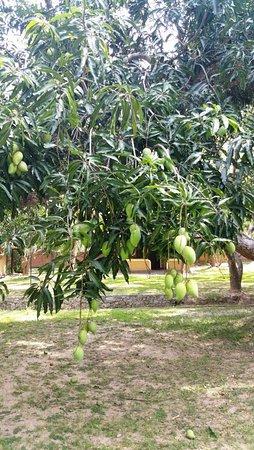 Yapahuwa, Sri Lanka: Mangobäume überall auf dem Gelände