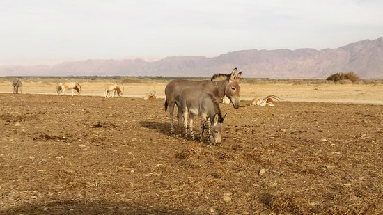 Hai Bar - Wildlife Reserve : Заповедник Хай-Бар - дикие ослы