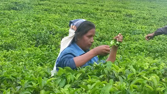 Heritance Tea Factory: 20170123_093431_large.jpg