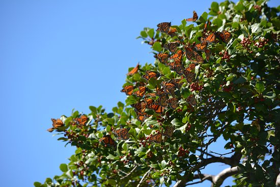 Tilghman, MD: Fall monarch migration.