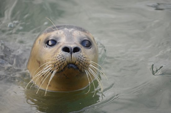 Hunstanton, UK: Common Seal in resident pool