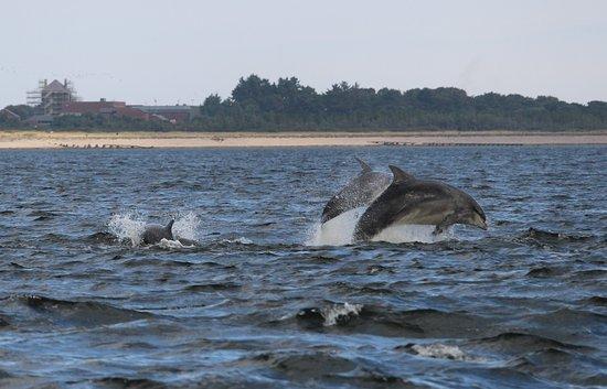 Fortrose, UK: Dauphins