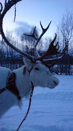 North Adventure AS: Reindeer