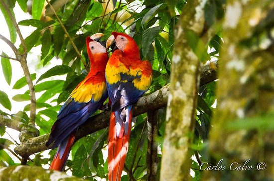 La Virgen, Costa Rica: Scarlet macaws in the trees