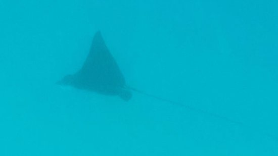 Castaway Island (Qalito), Fiji: Eagle Ray at outer reef snorkelling
