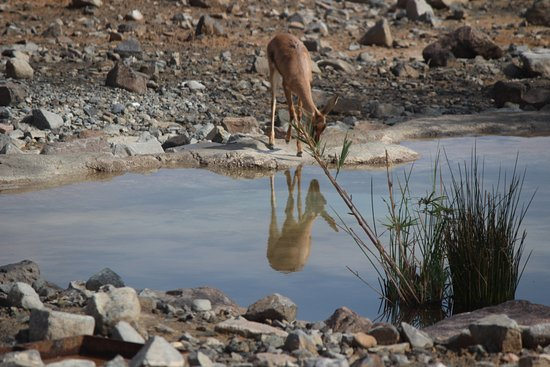 Kalba, United Arab Emirates: One of the deer