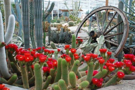 Ruurlo, Países Bajos: Bloei tijd van de CactusOase is van april tot sept  steeds andere cactus soorten