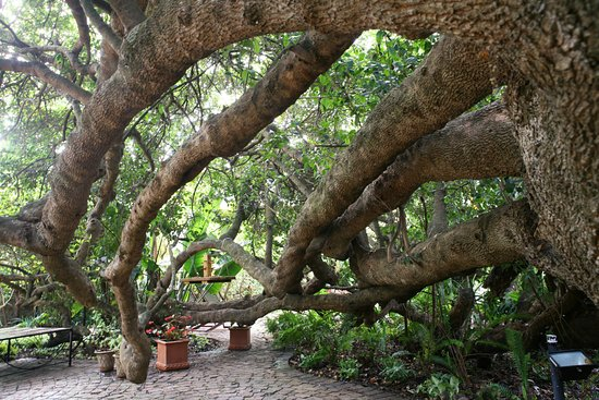 Wilderness, South Africa: Old Milkwood tree