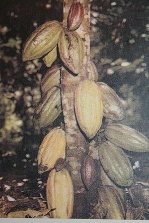 Sainte-Petronille, Canada: Cocoa beans