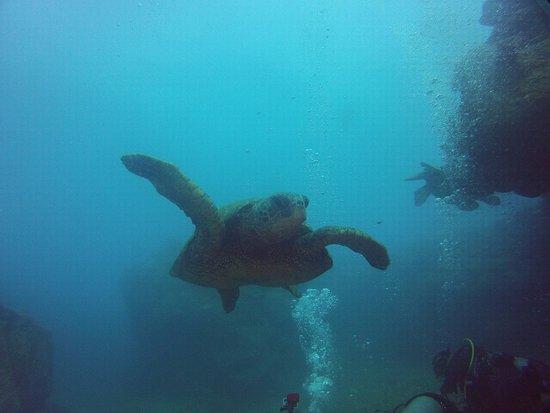 Kauai Down Under Dive Team : Sea Turtle from the Sheraton Caverns.