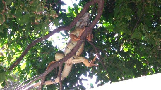 Hotel Capitan Suizo: Very large iguana on the tree right next to the restaurant... amazing!