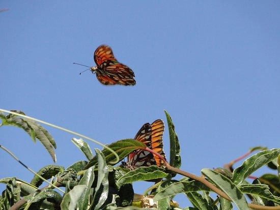 Placerville, كاليفورنيا: Gulf Frittilary Butterflies