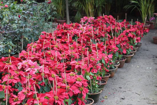 Horticultural Gardens Potted Plants Red Leaves Not Flowers