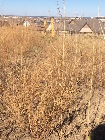 Lone Tree, CO: reeding efforts grew weeds....this used to be full of natural grasses and yucca plants- now this