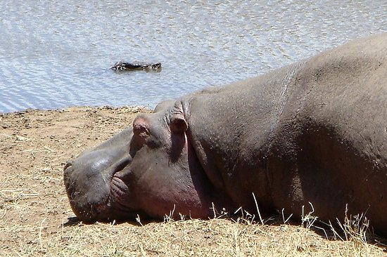 Zanzibar City, Tanzania: Hippo laying on the ground inside of the Lake Manyara National Park