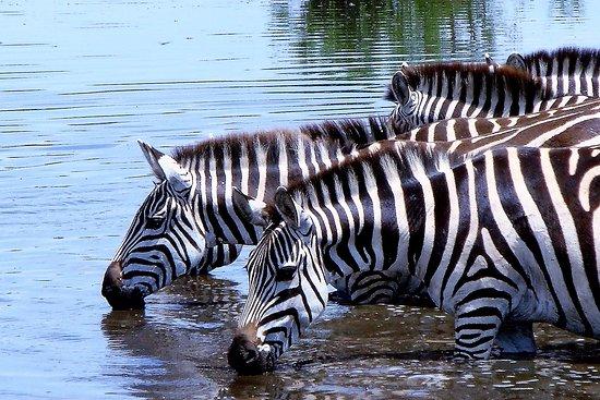 Zanzibar City, Tanzania: Some Zebras getting drinks in the Ngorongoro Conservation Pound
