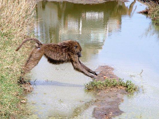 Zanzibar City, Tanzania: An Baboon trying not to touch water at the Ngorongoro Crater