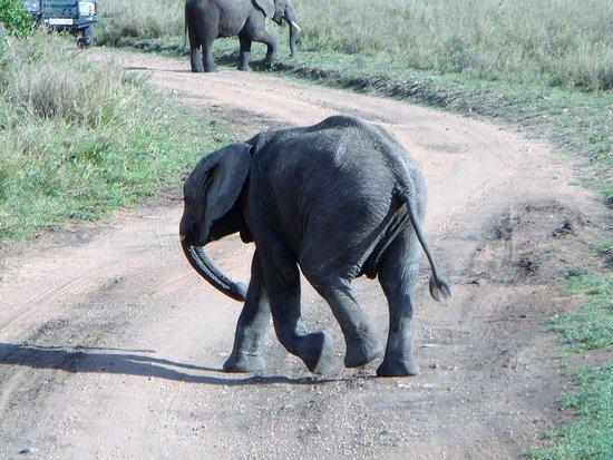 Zanzibar City, Tanzania: A baby elephant from the Serengeti