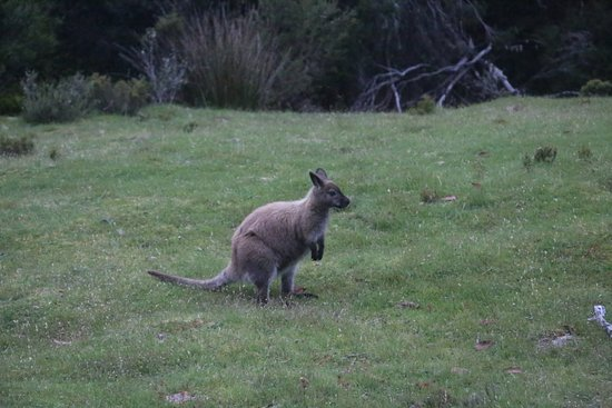 Legana, Australia: Wallaby seen at the start of the tour
