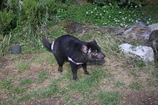 Legana, Australië: One of the Tasmanian devils at the sanctuary