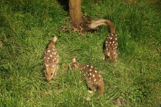 Legana, Australia: Quolls at the sanctuary